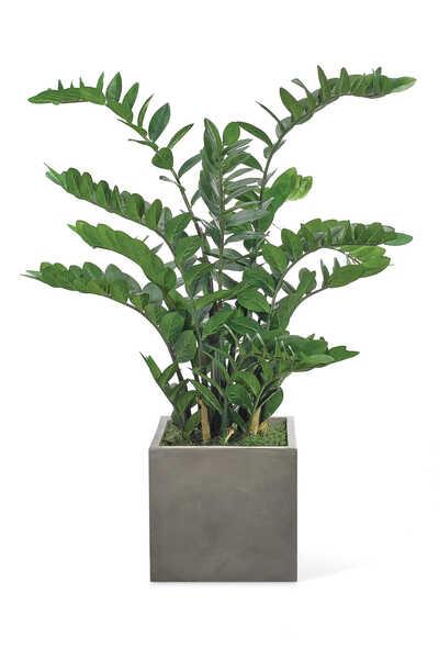 Zamifolia Bush With Concrete Cube