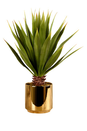 Large Potted Agave